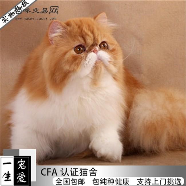 出售精品波斯猫颜色齐全多只可选包纯种健康可送货上门