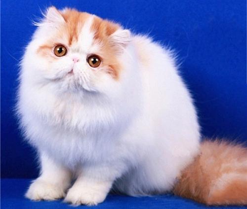 宠物专家教你 怎么训练波斯猫