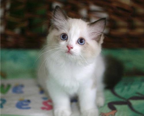 布偶猫怎么分辨好坏图片