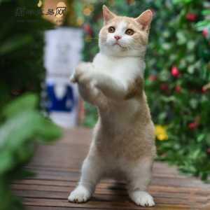 正规猫舍 纯种橘猫幼仔 可爱橘猫活体