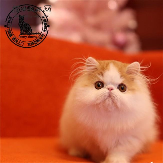 赛级活体宠物猫加菲猫纯种加菲猫幼猫幼崽咖啡猫异国